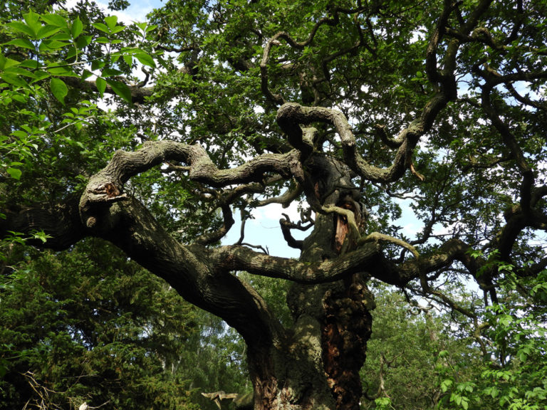 oak-sherwood-02