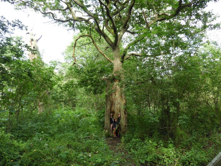 oak-sherwood