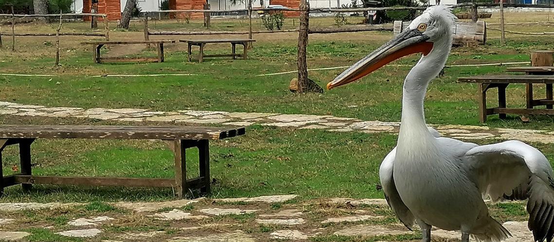 bandeau-pelican